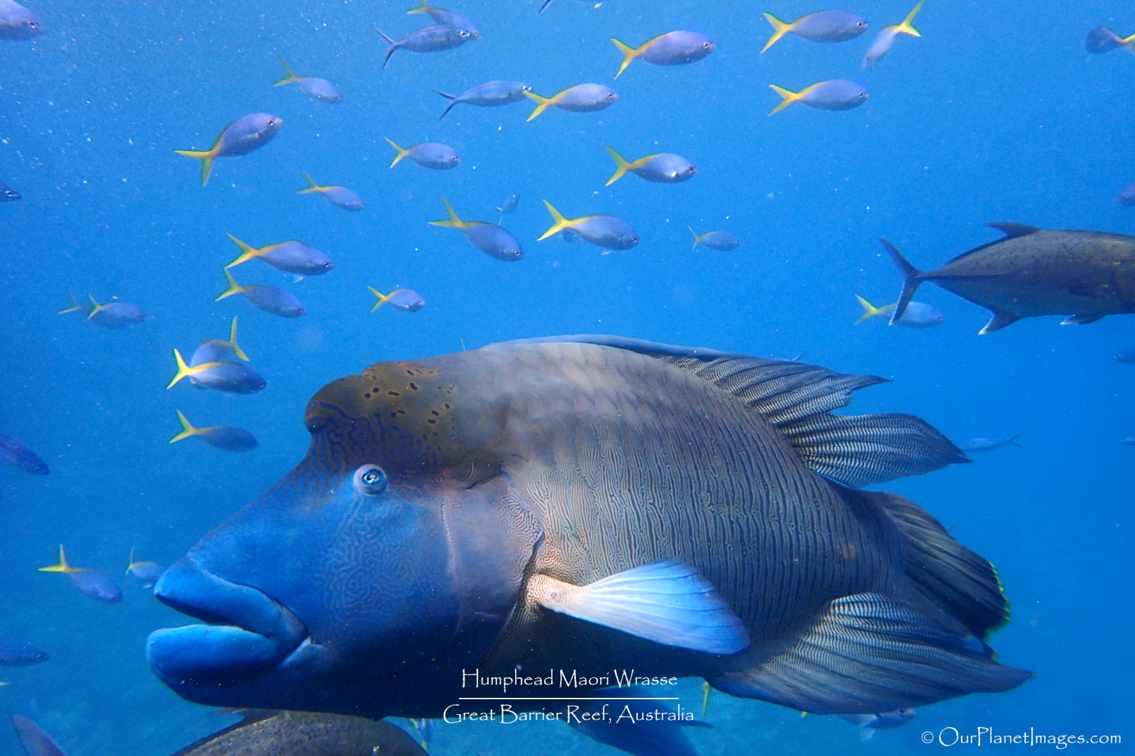 Humphead Maori Wrasse in Great Barrier Reef
