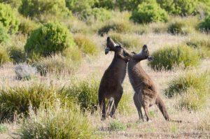 Kangaroos fighting on Kangaroo Island