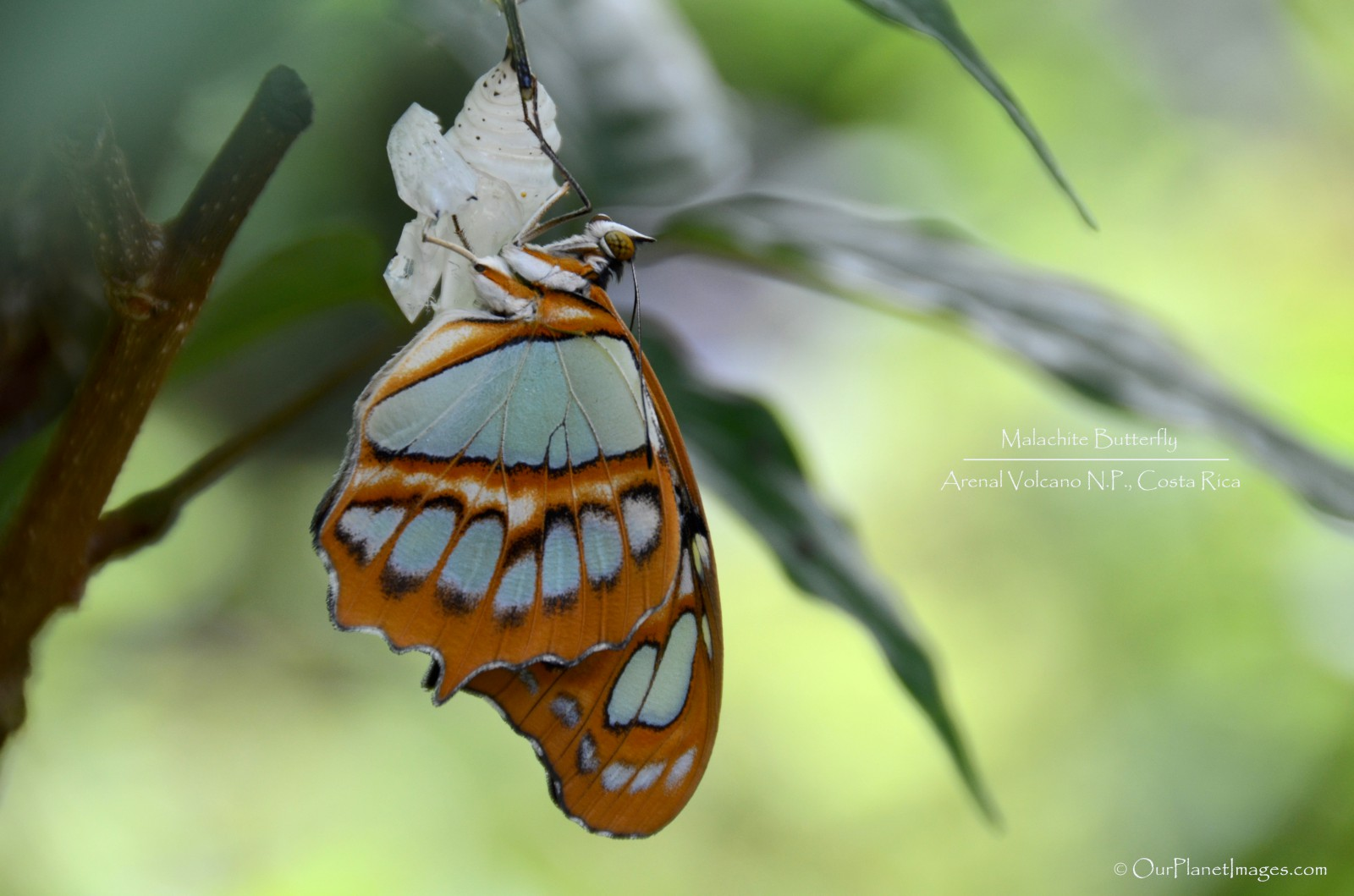 Malachite Butterfly hatching from cocoon