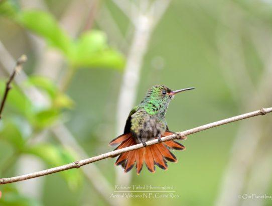 Rufous Tailed Hummingbird - Costa Rica