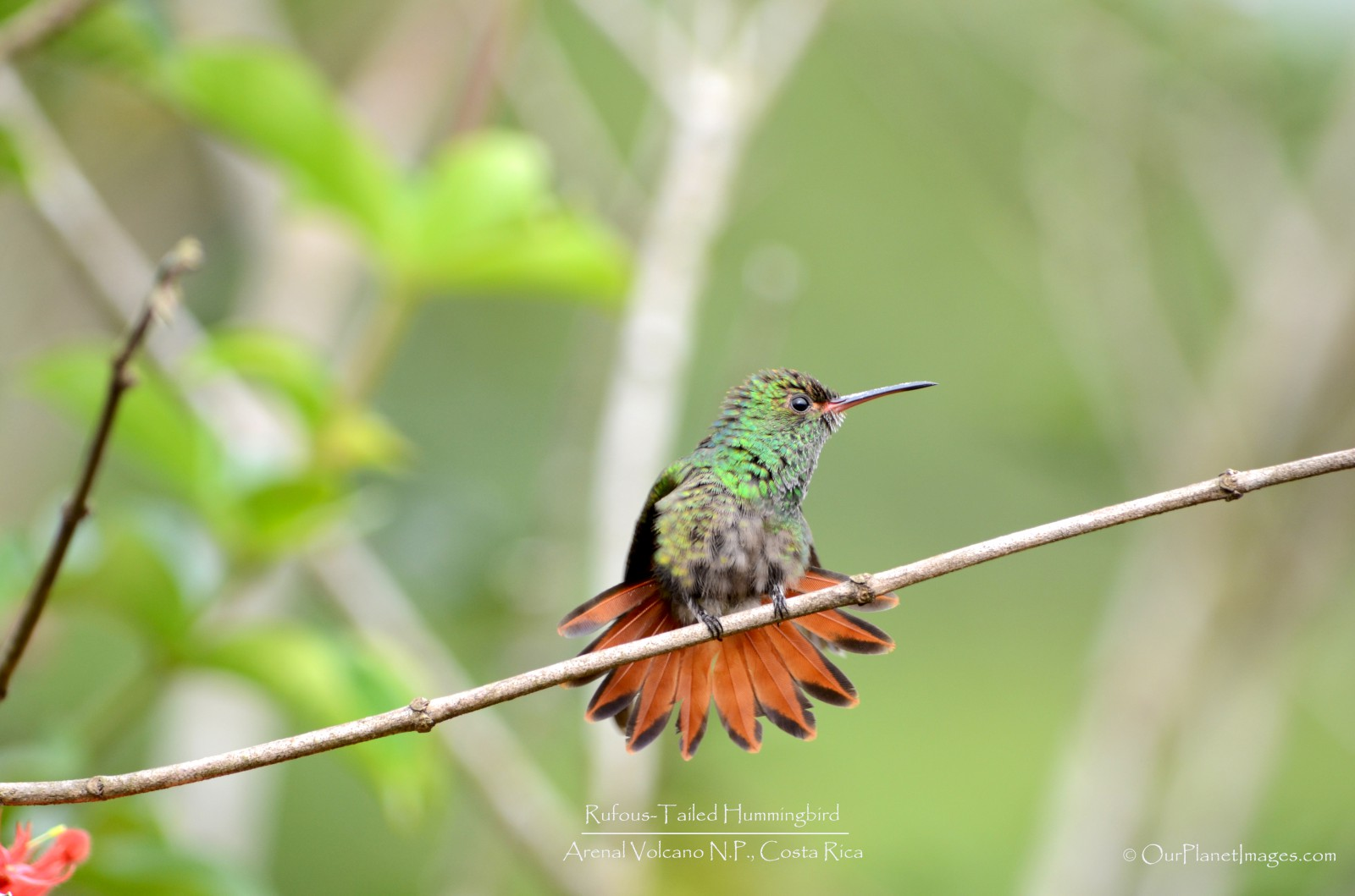 Rufous Tailed Hummingbird fanned tail