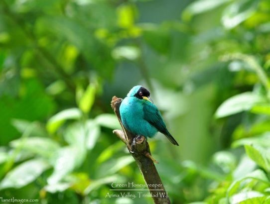 Green Honeycreeper - Trinidad