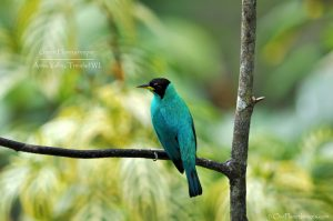 Green Honeycreeper Male on a tree
