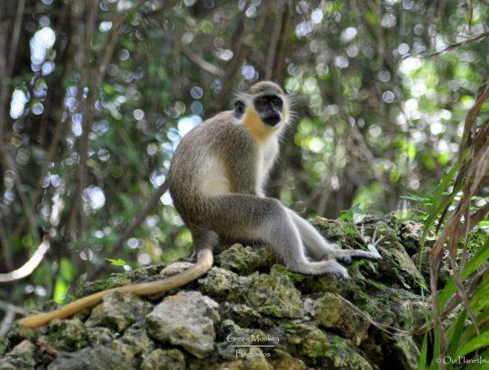 Green Monkeys - Barbados