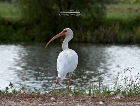 American White Ibis - Texas