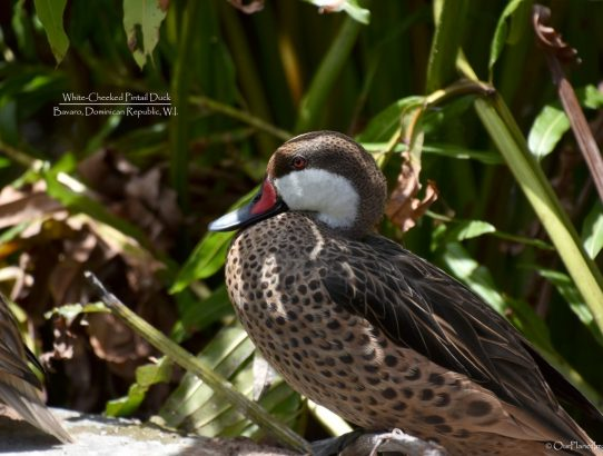 White-Cheeked Pintail Duck - Dominican Republic