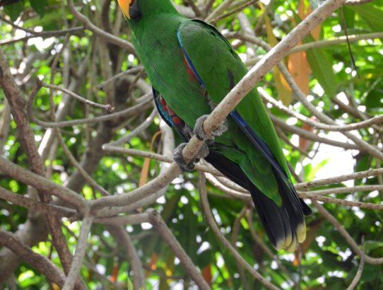 Eclectus Parrot - Australia