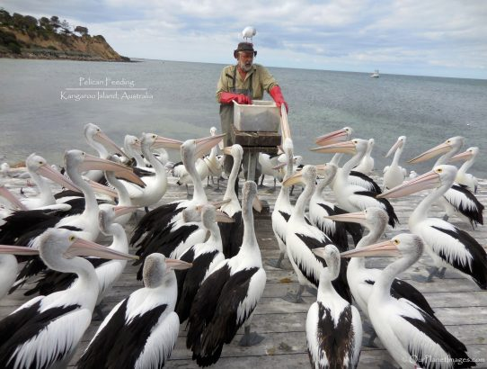 The Pelican Man - Australia