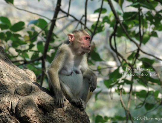 Bonnet Macaque - India
