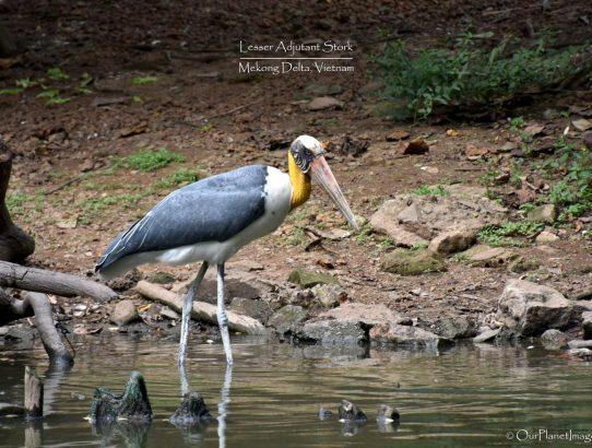 Lesser Adjutant Stork - Vietnam