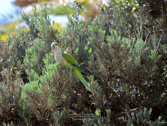 Monk Parakeet - Spain