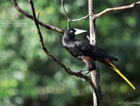 Crested Oropendola (Corn Bird) - Trinidad