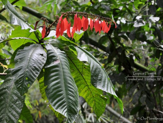 Flowers and Plants of Trinidad and Tobago #1