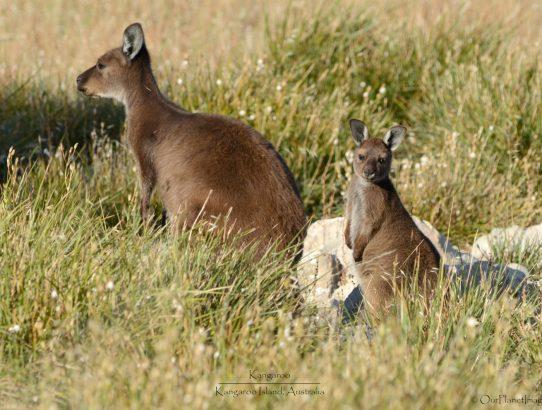 Kangaroo Island Kangaroos - Australia