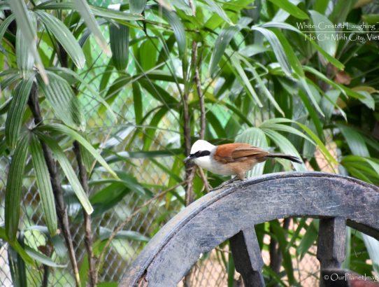 White-crested Laughing Thrush - Vietnam