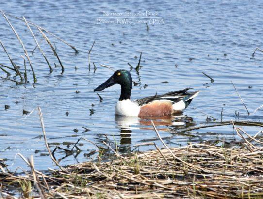 Northern Shoveler Ducks - Texas