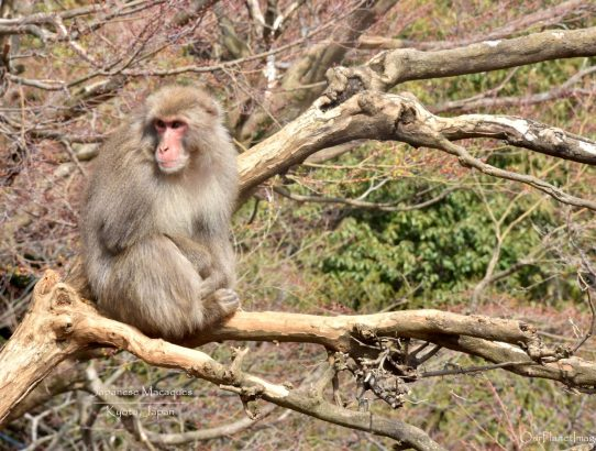 Japanese Macaques