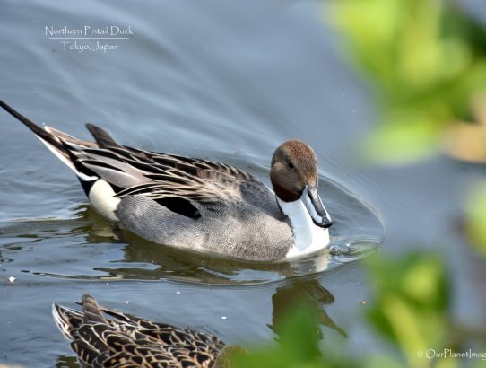 Northern Pintail Duck - Japan
