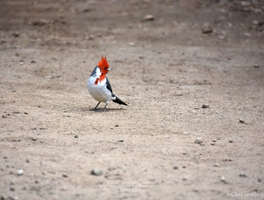 Red Crested Cardinal - Hawaii