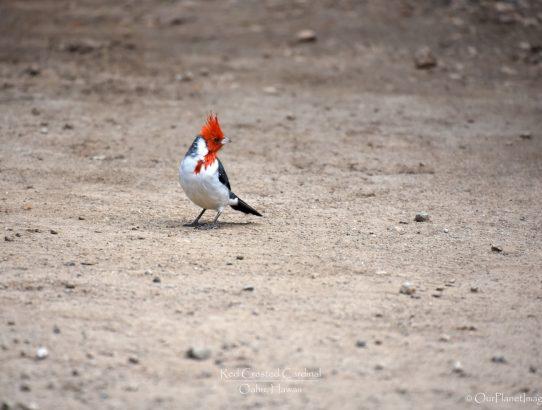 Red Crested Cardinal - Hawaii