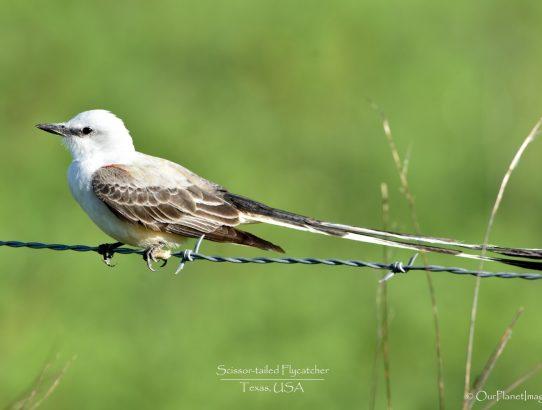 Scissor-Tailed Flycatcher - Texas