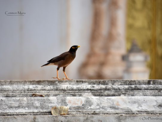 Common Myna - Asia/Pacific