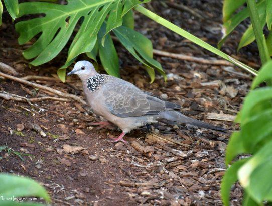 Spotted Dove - S. E. Asia
