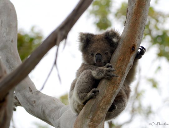 The Koala - Australia