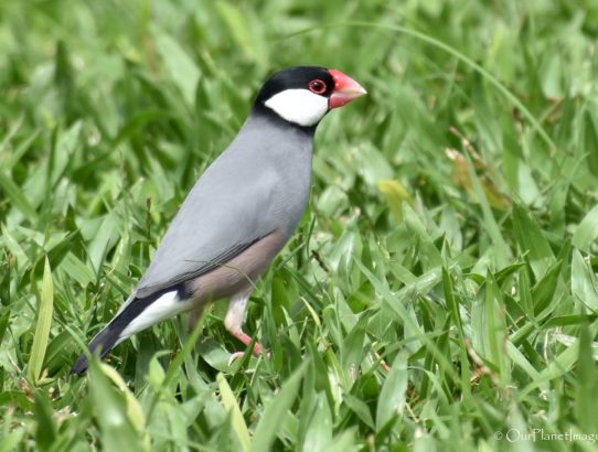Java Sparrow - Hawaii